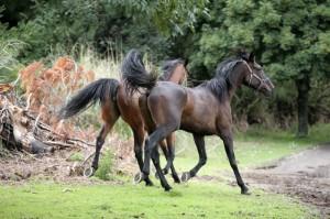 Horses Pepi - copie