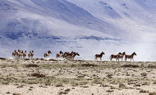 Wild donkeys, Tso Moriri, India-2